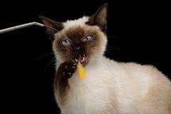 Scyth Toy Bob, the most smallest Cat on  Black Background. Portrait of Playful Scyth Toy Bob, the most smallest Cat on  Black Background, 8 month, play with paw Royalty Free Stock Photo