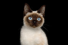 Scyth Toy Bob, the most smallest Cat on Isolated Black Background. Portrait of Scyth Toy Bob, the most smallest Cat on Isolated Black Background, 8 month Royalty Free Stock Images