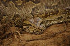 Südafrikanische Schlangen Lizenzfreies Stockfoto
