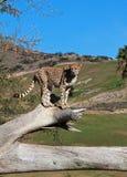 Südafrikanischer Gepard Stockfotografie
