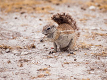 Südafrikanisches Grundeichhörnchen Stockfotos