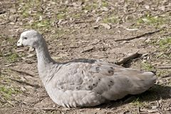 Cape barren goose. This is a sde view of a cape barren goose resting Royalty Free Stock Image
