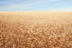 Sädes- fält över blå himmel Arkivbild
