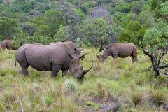 södra africa noshörning Arkivfoton