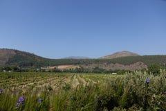 Södra - afrikanska vinlantgårdar Arkivfoton