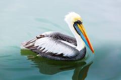 Södra - amerikansk pelikan på Ballestas öar i Peru, Paracas nationalpark, på sjön Royaltyfri Bild