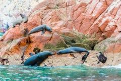 Södra - amerikanska sjölejon som kopplar av på, vaggar av Ballestas öar i den Paracas nationalparken, Peru. Royaltyfria Bilder