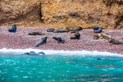 Södra - amerikanska sjölejon som kopplar av på, vaggar av Ballestas öar i den Paracas nationalparken, Peru. Royaltyfri Fotografi