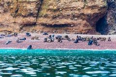 Södra - amerikanska sjölejon som kopplar av på, vaggar av Ballestas öar i den Paracas nationalparken, Peru. Arkivbild