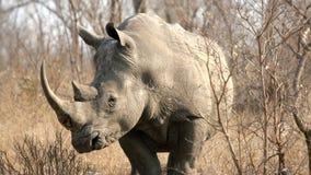 södra noshörning för africa krugernationalpark Arkivfoton