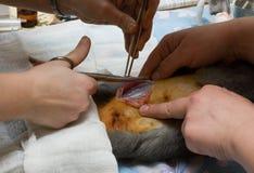 Seção Cesarean Imagens de Stock Royalty Free
