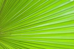 Seção da folha de palmeira de Chusan Imagem de Stock Royalty Free