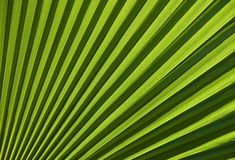 Seção da folha de palmeira de Chusan Imagens de Stock