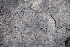 Seção de uma árvore velha Imagem de Stock Royalty Free