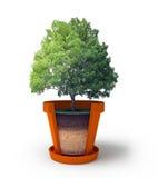 Seção do potenciômetro com árvore dos bonsais Foto de Stock Royalty Free