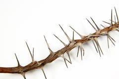 Seção do ramo secado coberto nos espinhos afiados fotografia de stock royalty free