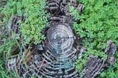 Seção do tronco com trevo Imagens de Stock Royalty Free