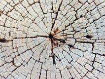 Seção do tronco de árvore Foto de Stock Royalty Free