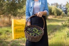 A seção meados de da terra arrendada da mulher colheu azeitonas na cesta Imagem de Stock Royalty Free