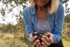 A seção meados de da terra arrendada da mulher colheu azeitonas na exploração agrícola Fotos de Stock Royalty Free