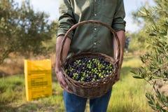 A seção meados de da terra arrendada do homem colheu azeitonas na cesta Fotos de Stock Royalty Free