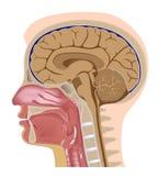 Seção mediana da cabeça humana Fotos de Stock