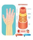 Seção transversal anatômico da ilustração do vetor da arteríola Esquema do diagrama do vaso sanguíneo de sistema circulatório na  ilustração royalty free