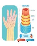 Seção transversal anatômico da ilustração do vetor do Venule Esquema do diagrama do vaso sanguíneo de sistema circulatório na sil ilustração royalty free