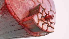 Seção transversal através de um músculo com fibras de músculo visíveis - rendição 3D fotos de stock royalty free