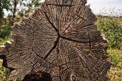 Seção transversal da árvore podre Foto de Stock