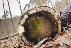 Seção transversal de madeira fotos de stock royalty free