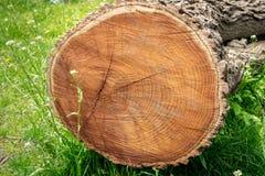 Seção transversal de uma árvore reduzida, encontrando-se em um prado da grama verde, mostrando anéis do ano imagens de stock royalty free