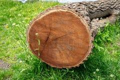 Seção transversal de uma árvore reduzida, encontrando-se em um prado da grama verde, mostrando anéis do ano fotos de stock royalty free