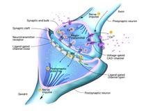 Seção transversal de uma sinapse ou de uma conexão neuronal com uma pilha de nervo ilustração do vetor