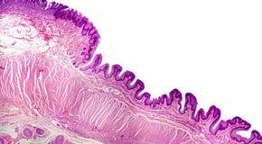 Seção transversal do estômago Micrografia leve que mostra o epitélio do estômago Imagens de Stock