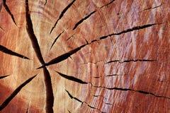 Seção transversal do tronco de árvore da goma foto de stock royalty free