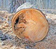 Seção transversal do tronco do pinho imagem de stock royalty free