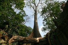 Señal enorme del árbol en el templo de TA Prohm Fotos de archivo libres de regalías