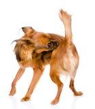 Señal y pulga de la limpieza de uno mismo del perro Aislado en el fondo blanco imagen de archivo