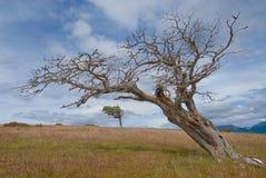 Señale el árbol por medio de una bandera formado por el viento en patagonia Fotos de archivo libres de regalías