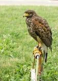 Señor del cielo, de la situación del halcón y de la mirada, halcón - el halcón está listo para cazar Fotografía de archivo