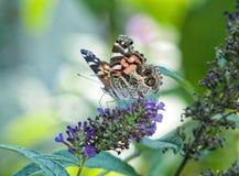 Señora americana Butterfly Fotografía de archivo
