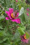 Señora americana Butterfly Fotos de archivo