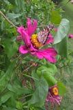 Señora americana Butterfly Imagen de archivo libre de regalías