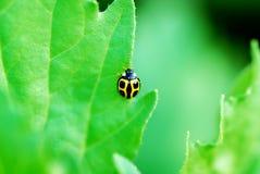 Señora Bug Imagen de archivo