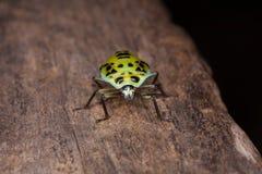 Señora Bug Fotografía de archivo