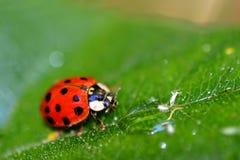 Señora Bug (6408) Imagen de archivo libre de regalías