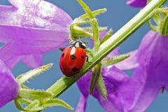 Señora Bug Fotos de archivo