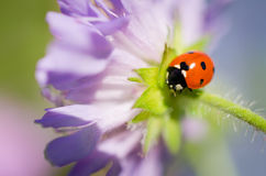 Señora Bug Close-Up Imagen de archivo libre de regalías