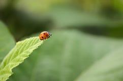 Señora Bug que toma un salto Fotos de archivo libres de regalías